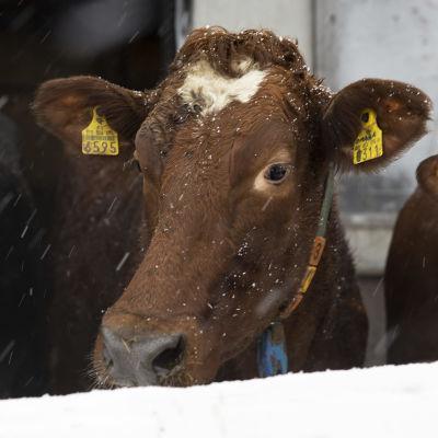 Lehmä ulkona.