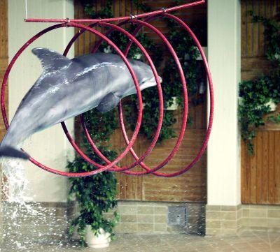 Delfin hoppar genom ringar i Särkänniemi delfinarium