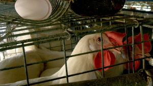 Broiler inom äggproduktionen.