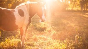 Ysttäväni hevonen