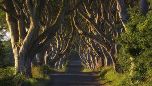 Dark Hedges. Vanhojen pyökkien reunustama ja kattama tie Pohjois-Irlannissa.