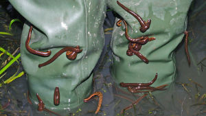 Närbild på två ben som står i vassen iklädda regnbyxor med iglar som krälar på buntarna.