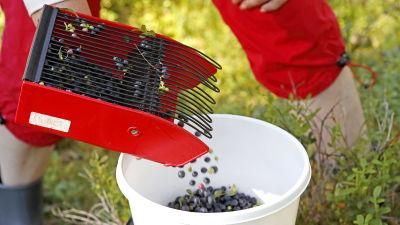 En blåbärsplockare häller blåbär i en hink.