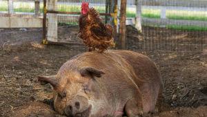 Sika makaa lätissä ja kukko seisoo sian päällä. Kuva dokumenttielokuvasta Unelmien maatila.