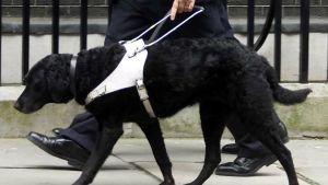 En svart ledarhund som leder en person.