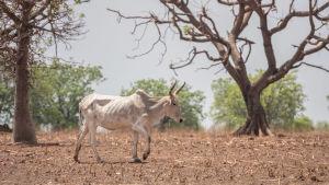Kuivuus vaikeutta myös kotieläinten selviämistä