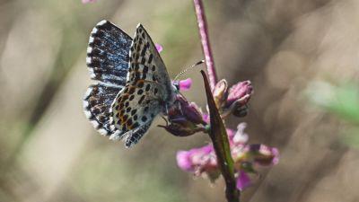 En bild på en fetörtsblåvinge, en fjäril som är blågrå med prickar på vingarnas insida.