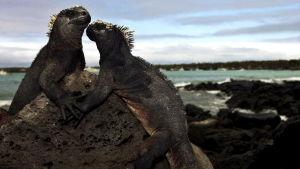 Havsleguaner på Galápagosöarna.