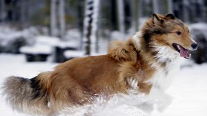 En colliehund springer i snön