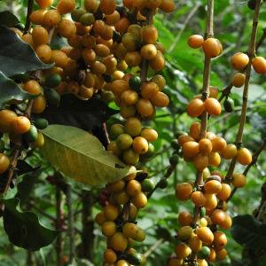 Kahvipapuja Gran Palomarissa Andeilla