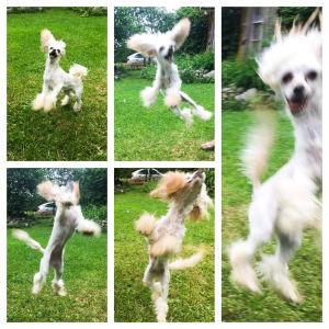 Hyppivä koira vihreällä nurmella