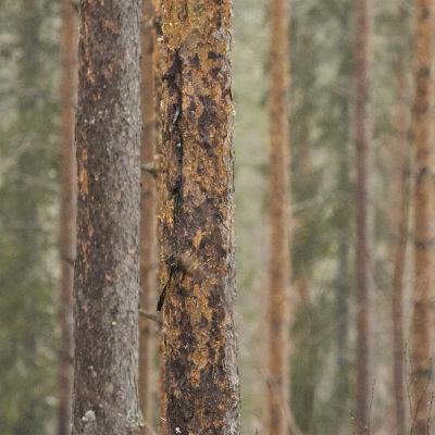 Männynrunkoja sateisessa metsässä.