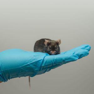 Hiiri istuu laboratoriotyöntekijän kumikäsineen päällä.