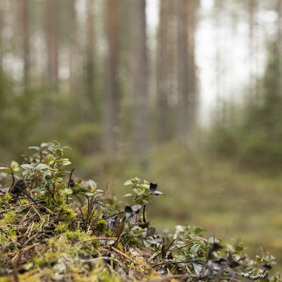 Puolukanvarpuja metsässä.