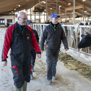 Säästöpankki Optian asiakkuusjohtaja Risto Savolainen sekä maatalousyrittäjät Mari ja Jarmo Niskanen kävelevät navetassa