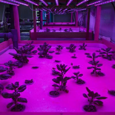 Pinaattia kasvatetaan aquaponicsissa pinkissä valossa.
