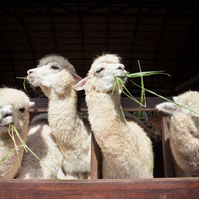 Alpackor äter gräs