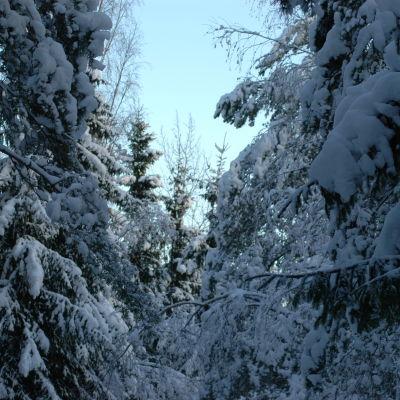 Vinterskog.