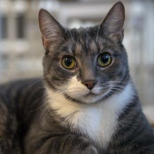 Oliver-kissa makoilee olohuoneen lattialla