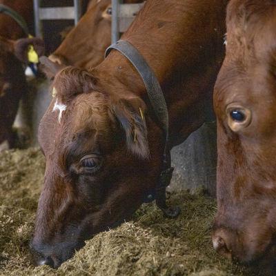 Lehmiä navetassa Sonkajärvellä.
