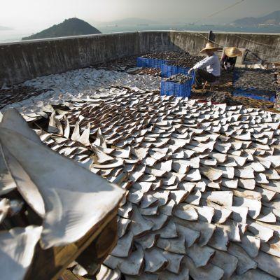 Uppe på ett tak i Hong Kong torkas fenor av färskfångad haj