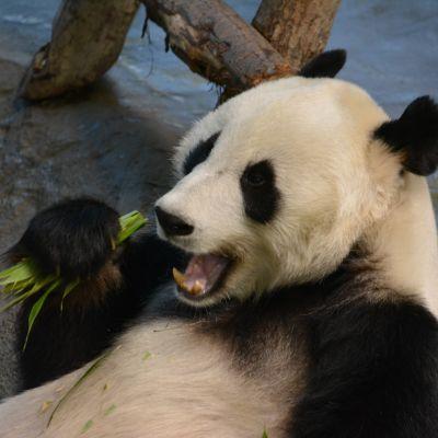 Pyry-pandalle maistui Bambua pandalle -hankkeessa tuotettu lähiruoka eli Suomessa viljelty bambu.