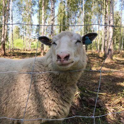 Lammas aitauksessa