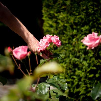 Naisen käsi ja ruusuja