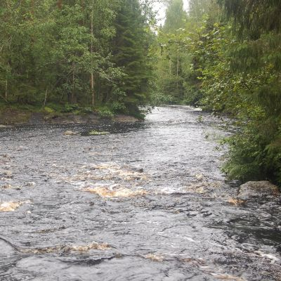 Kajonkoski Pohjois-Karjalassa sijaitsevassa Sukkulanjoessa kunnostetaan järvitaimenen lisääntymisalueeksi.