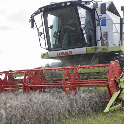 Itä-Suomen viljasato jäämässä keskimääräistä heikommaksi.