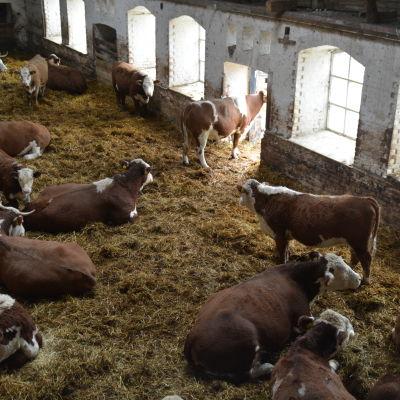 Kor på Mörby gård i Raseborg