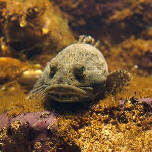 Isosimppu makaa merenpohjalla ilmeisen kirkkaassa vedessä ja hyvässä valossa.