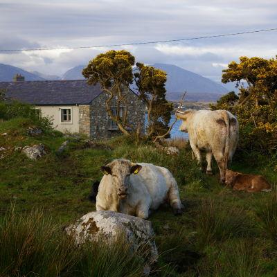 Två kor och ett hus i ett idylliskt Irland.