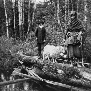 I. K. Inhan valokuvassa pässiä viedään Venehjärven pokkouhrille