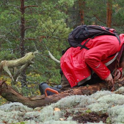 Panu Kunttu undersöker svampar på murken trädstam.