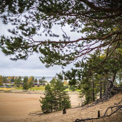 Tuulten hiekasta esiin huuhtomia männynjuuria Kalajoen hiekkasärkillä. Taustalla Pohjanlahti ja asuntovaunualue.