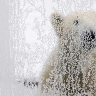 En isbjörn på en arkivbild från ett zoo i Geisenkirchen, Tyskland i januari 2010.