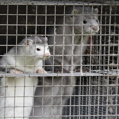 Två minkar står på bakbenen och tittar ut ur sin bur.