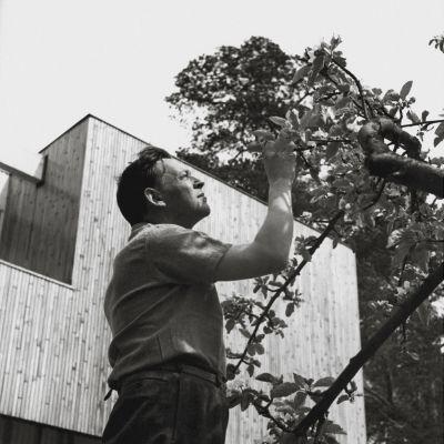 Alvar Aalto vid ett av träden i sin trädgård.