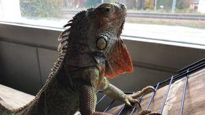 Iguanan Igge tittar ut genom fönstret.