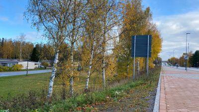 En rad björkar invid Korsholmsvägen.