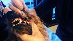 En hund får tandvård.