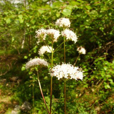 kukkivat suopursut