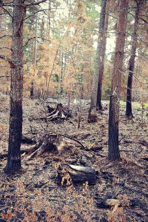 skog och stubbar, karg miljö