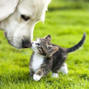 En vuxen hunds nos som böjer sig ner och snusar på en liten kattunge. Djuren är på en sommargrön gräsmatta.