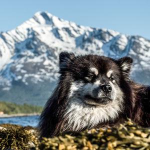 Äijä-koira ja lumiset huiput