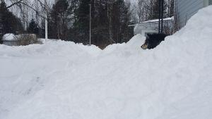 Kuusamossa satoi niin paljon lunta, että koirasta näkyy vain pää kinoksesta.