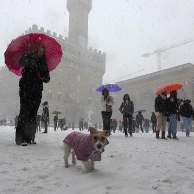 Lumisade ja lunta Firenzen Piazza della Signoria -aukiolla, ihmisiä sateenvarjoineen ja koira 'takkiin' puettuna.