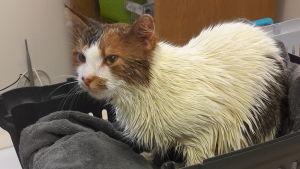 En katt med blöt päls sitter i en korg.