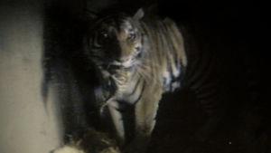 Det sibiriska tigerparet på Högholmen har fått trillingar, här syns mamman bära en unge i tigerboets webbcam (25.5.2016)